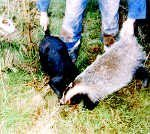 Badger being baited by terriermen